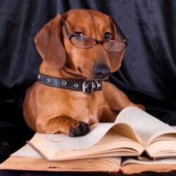 purebred dachshund and book