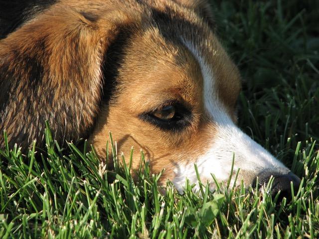 1164711 - a closeup of a beagle on the grass